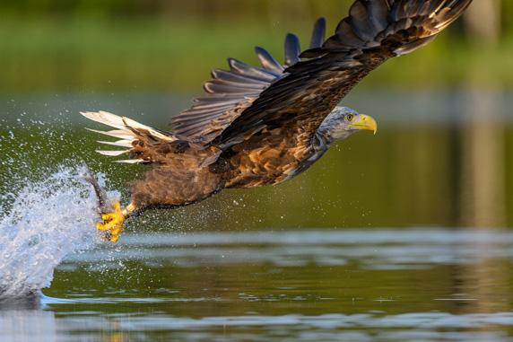 Fischender Seeadler auf dem Schaalsee. Foto: Volker Bohlmann