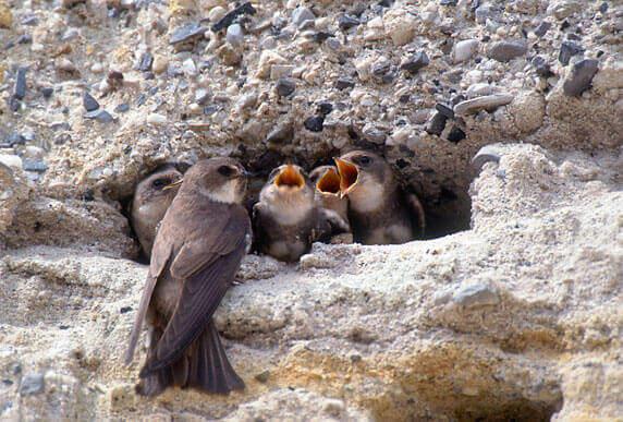 Uferschwalben. Foto: Manfred Delpho