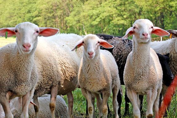 Schafe der Klein Salitzer Milchschäferei. Foto: Susanne Hoffmeister