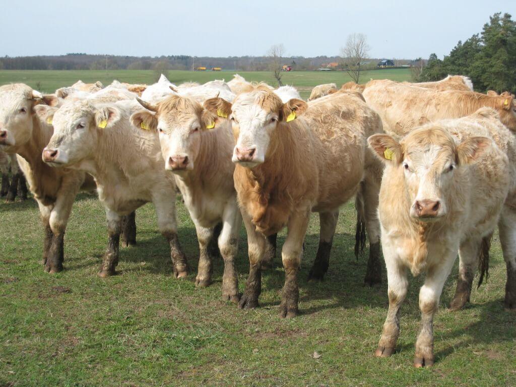 Rinder des Bio-Rinderzuchtbetriebs Bobzin in Woez. Foto: Corina Müller