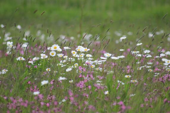 Wildblumenwiese. Foto: Susanne Hoffmeister