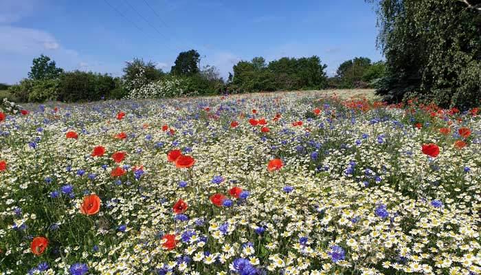 Blühflächen für Wildbienen